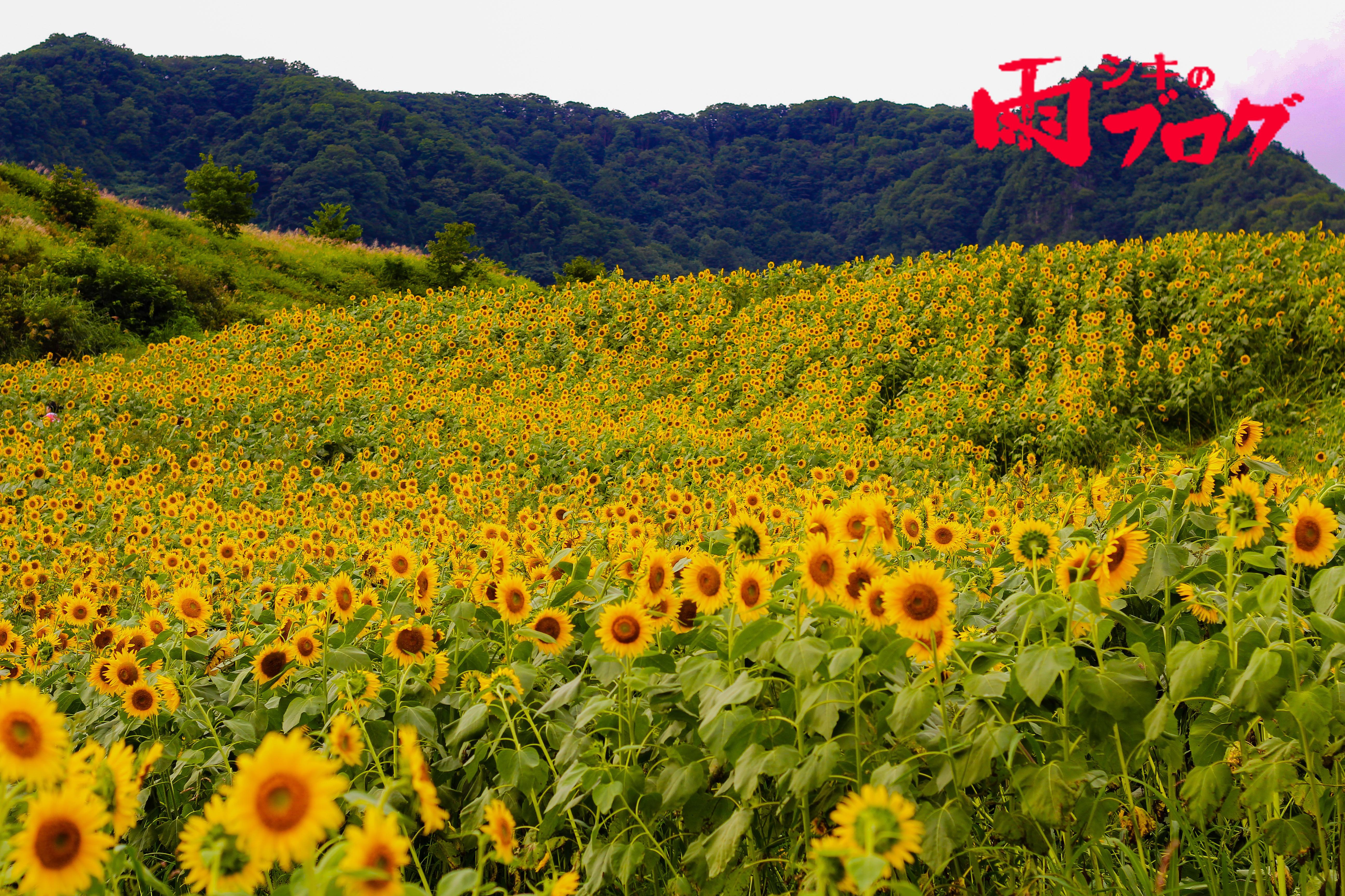 シキ、撒き餌レンズをもって蜂を撮りに行く。〜三ノ倉高原〜