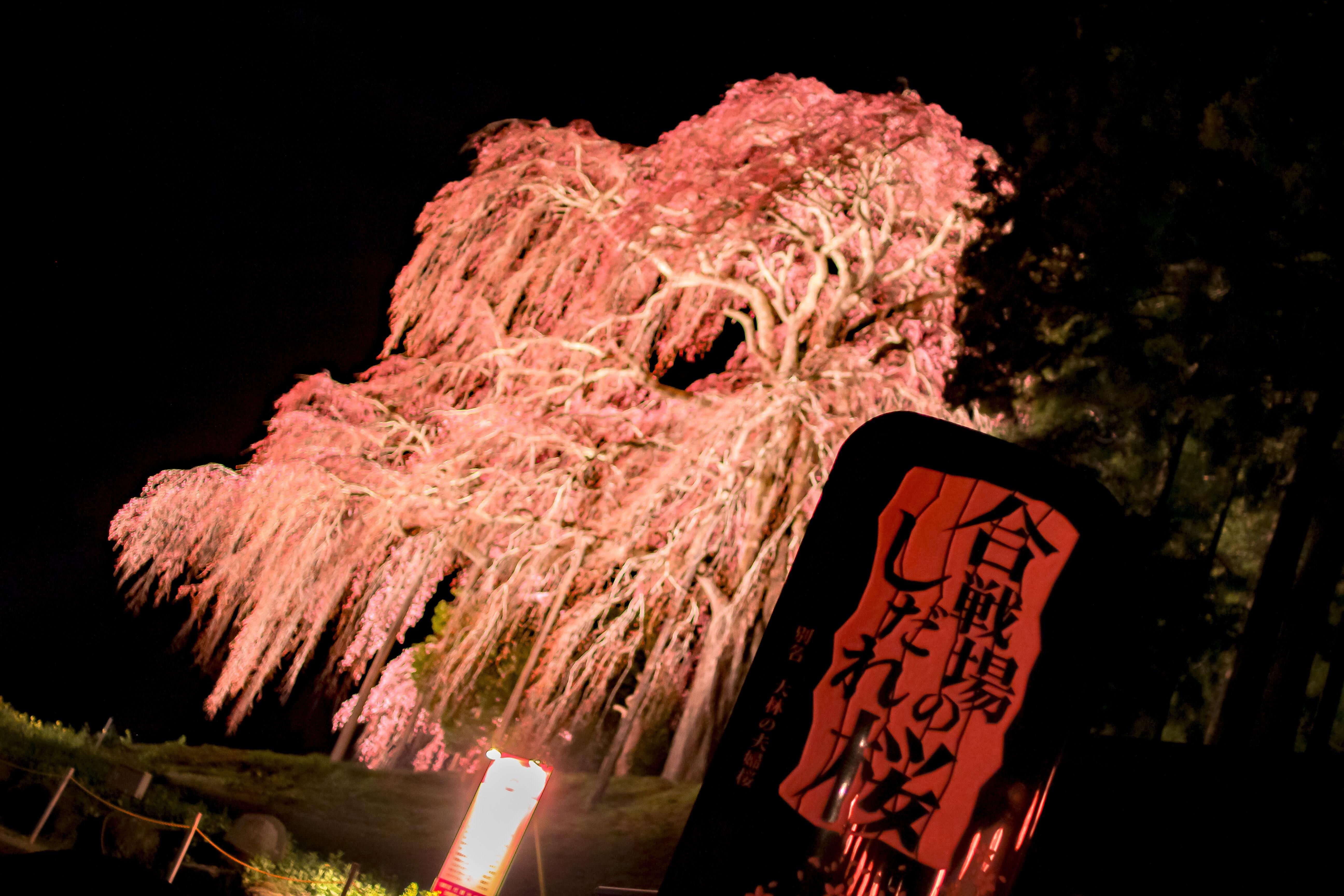 三春滝桜の孫桜!?「合戦場のしだれ桜」を撮影してきた。